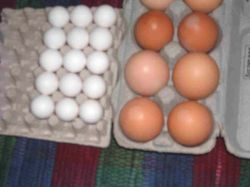 Bobwhite eggs